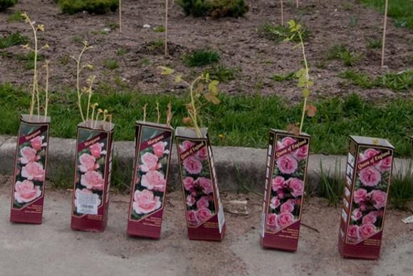 У входа в парк Городов-героев ночью появились розы: Фото