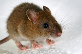 На Пловдивской улице будут раздавать красивых крыс