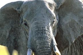 Петербургским детям дадут раскрасить слона
