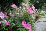 Фоторепортаж: «Благоухающий двор на проспекте Художников - дело рук супругов Седы и Эдуарда»