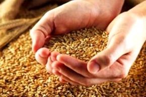 В России от засухи недобор зерна может составить 11 миллионов тонн