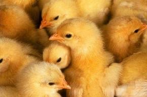 Свиной грипп стал куриным?