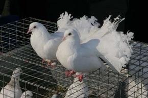 Финских голубей не пустили в Петербург
