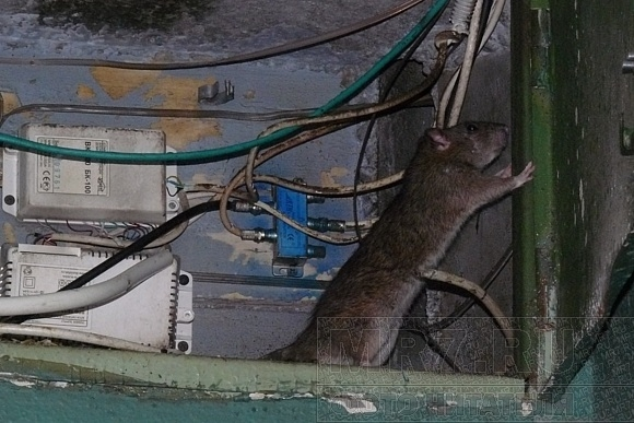 Кошмар четвертого подъезда: крыс больше, чем людей: Фото