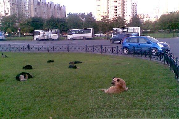 Стая собак у «Прибалтийской»: Фото