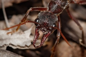 В США началось нашествие безумных муравьев