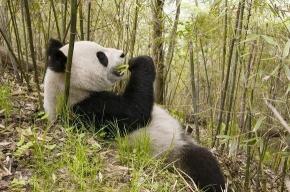 Съел суши вилкой – спас панду