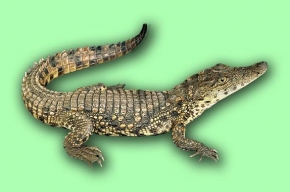 Агрессивная самка крокодила едет в Петербург