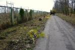Фоторепортаж: «В Колпино на аллее Памяти посадили 200 молодых кленов»