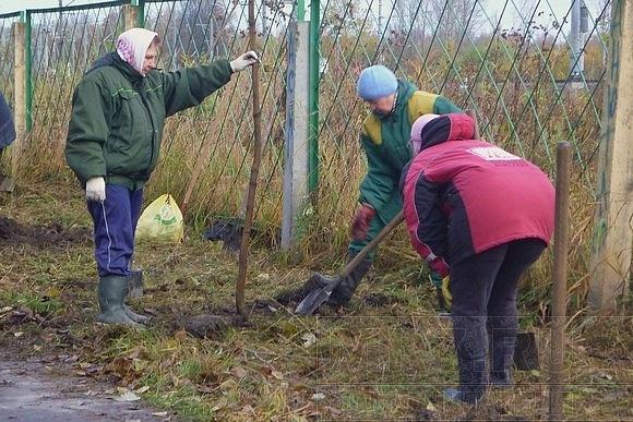 В Колпино на аллее Памяти посадили 200 молодых кленов: Фото