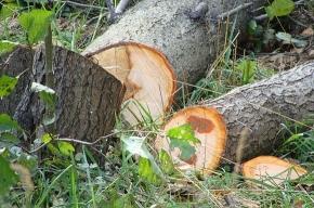 Почему рубят деревья на Придорожной аллее