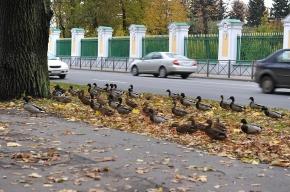 Утки отказались покидать Петергоф
