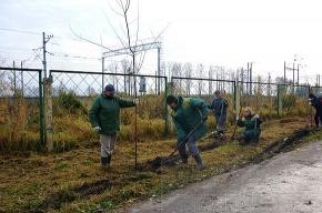 В Колпино на аллее Памяти посадили 200 молодых кленов