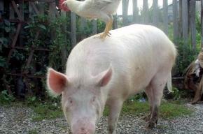 Медики боятся появления гибрида «свиного» и «птичьего» гриппа