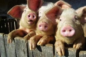 Заграничное мясо проверяют на свиной грипп