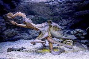 В Петербург привезли осьминога