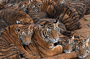 Восьмерых цирковых тигров и львицу погубили пьяные люди