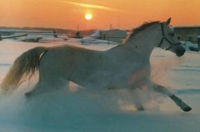 Инспекторы ГИБДД и спасатели ловили на КАД лошадей