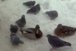 Фоторепортаж: «На Черной речке замерзают утки»