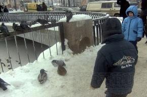 На Черной речке замерзают утки