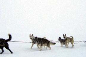 На Елагином острове проходят собачьи гонки
