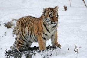 В Ленинградском зоопарке тигрица Герда отмечает Новый год