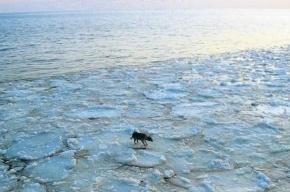 Польская дворняжка проплыла на льдине полторы сотни километров