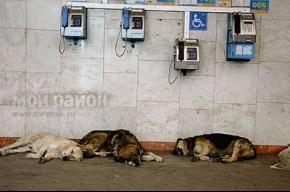 Бездомные собаки гибнут от отравленной колбасы