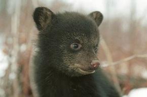 У ворот зоопарка мучают медвежонка