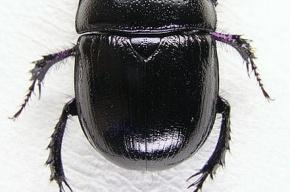 Жук-навозник – чемпион среди жуков
