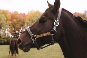 В Петербург привезут 50-сантиметровую лошадь