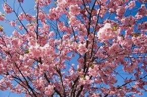 Японская весна приходит в Петербург