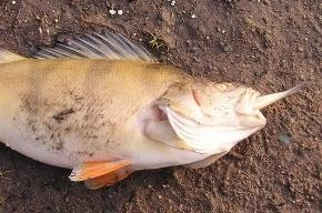 Рыбы на Петровском острове не отравились, а задохнулись