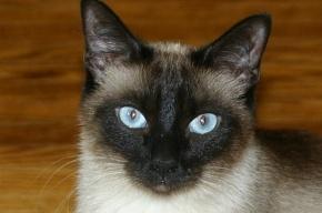 Сиамский кот напал на ребенка и родителей