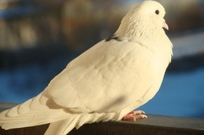 Застрелили голубя и разбили стекла