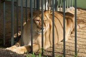 Львица напала на четырехлетнего ребенка в зоопарке