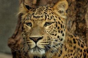 Цирковой леопард напал на маленькую девочку в Подмосковье