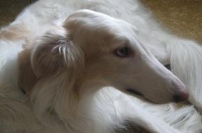 Петербургских собак травят ядом
