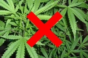 В Сусанино культивировали марихуану