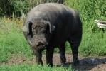 Когда вокруг одни козлы и свиньи: Фоторепортаж