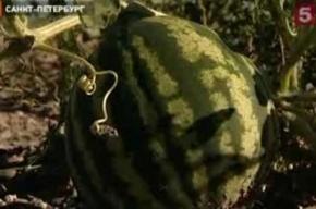 В Петербурге выросли арбузы прямо у ТЭЦ
