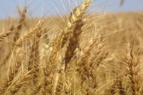 Засуха. Мир не получит российского зерна