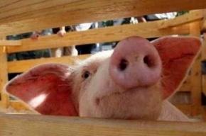 «Свиной грипп» больше не угрожает планете