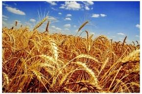 Следующий урожай зерна в России будет больше нынешнего в 1,5 раза