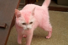 Женщина покрасила волосы и кошку в розовый цвет