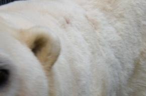 Московский зоопарк сообщает об обстреле белого медведя