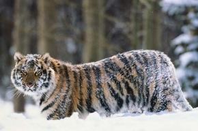В Петербург едут 13 тигров
