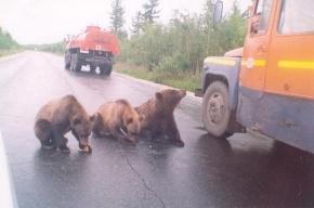 Осторожно, медведи! И другие звери тоже