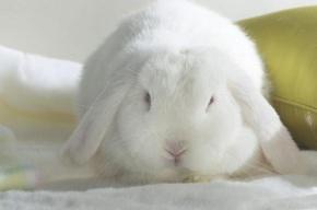 Белые коты и кролики – жертвы восточного календаря
