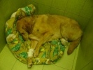 Жители Петербурга ищут хозяев псу Бонусу, которого живодеры лишили лап: Фоторепортаж